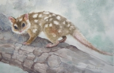 Arnie the Quoll